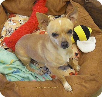 Chihuahua Mix Dog for adoption in Wickenburg, Arizona - Bryan