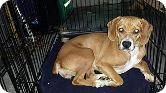 Boxer/Beagle Mix Dog for adoption in Manhasset, New York - Red