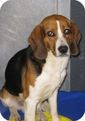 Beagle Mix Dog for adoption in Mineral, Virginia - Boyd