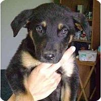 Adopt A Pet :: Allie - Alexandria, VA
