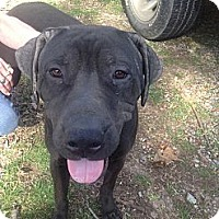 Adopt A Pet :: Dane - Bentonville, AR
