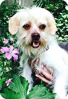 Shih Tzu/Yorkie, Yorkshire Terrier Mix Dog for adoption in Boulder, Colorado - Windsor-ADOPTION PENDING