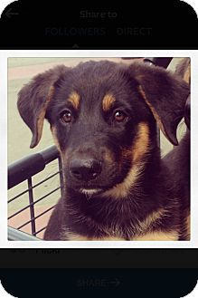 German Shepherd Dog/Australian Shepherd Mix Puppy for adoption in Woodland, California - Bert (BB) Bosephus