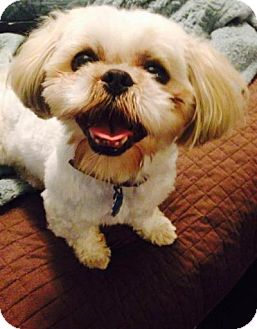 Shih Tzu Mix Dog for adoption in Troy, Michigan - Harvey