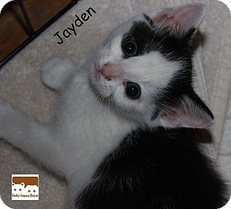 Domestic Shorthair Kitten for adoption in Wichita Falls, Texas - Jayden
