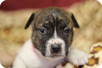 Jack Russell Terrier/Corgi Mix Puppy for adoption in Waldorf, Maryland - Edith