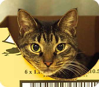 Domestic Shorthair Cat for adoption in Daytona Beach, Florida - Alona