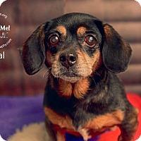 Adopt A Pet :: Peanut Butter Cup Opal - Shawnee Mission, KS
