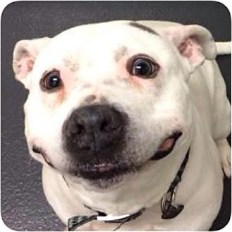 Pit Bull Terrier Mix Dog for adoption in Ithaca, New York - Kiko
