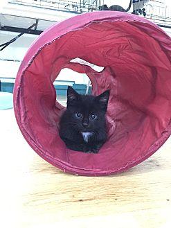 Domestic Shorthair Kitten for adoption in Speonk, New York - Marcos