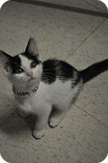 Domestic Shorthair Cat for adoption in Rockaway, New Jersey - Michael