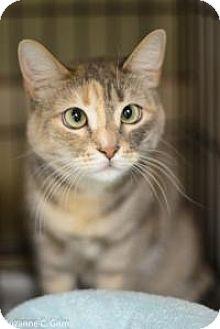 Domestic Mediumhair Cat for adoption in New Orleans, Louisiana - Echo