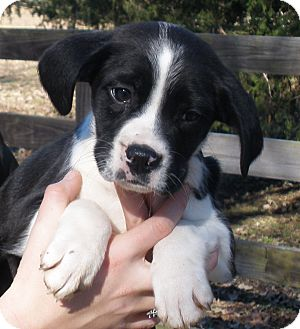 Border Collie/Boxer Mix Puppy for adoption in Chicago, Illinois - Avery