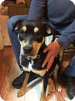 Rottweiler/Labrador Retriever Mix Dog for adoption in Providence, Rhode Island - Rocky / Pongo