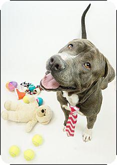 Staffordshire Bull Terrier/American Staffordshire Terrier Mix Dog for adoption in Phoenix, Arizona - Zeus