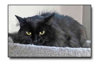 Domestic Longhair Cat for adoption in Howell, Michigan - Amos