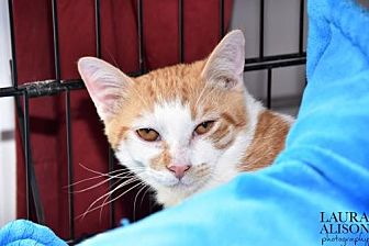 Domestic Shorthair Cat for adoption in Rockaway, New Jersey - Izod