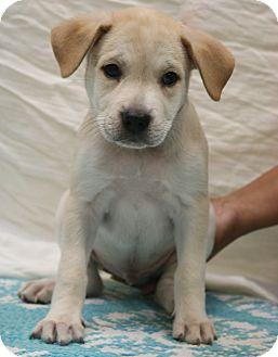 Labrador Retriever/Boxer Mix Puppy for adoption in Southington, Connecticut - Chance