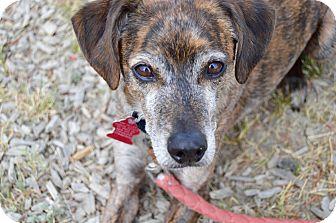 Italian Greyhound/Whippet Mix Dog for adoption in Buena Vista, Colorado - Remy