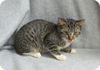 Domestic Shorthair Kitten for adoption in Waldorf, Maryland - Curly
