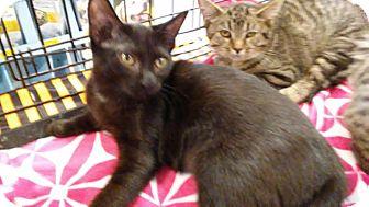 Domestic Shorthair Kitten for adoption in Columbus, Ohio - Midnight