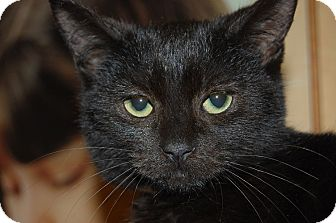 Domestic Shorthair Kitten for adoption in Whittier, California - Norman