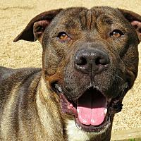 Adopt A Pet :: Butch - West Babylon, NY