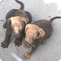 Adopt A Pet :: Hatchi - Allentown, NJ