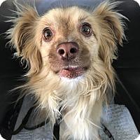 Adopt A Pet :: Lando - Las Vegas, NV