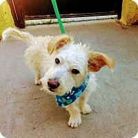 Adopt A Pet :: Chico (aka Chiki) - San Diego, CA