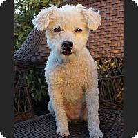 Adopt A Pet :: HONEY MUSTARD (Zoey) - Los Angeles, CA