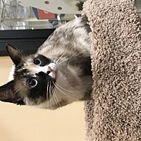 Adopt A Pet :: Coco - DFW Metroplex, TX