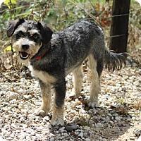 Adopt A Pet :: Pepsi - Spring, TX