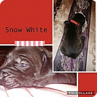 Adopt A Pet :: Ellie's 'Snow White' (Red) - Chambersburg, PA