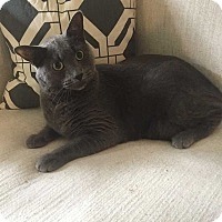 Russian Blue Cat for adoption in Addison, Illinois - Kohl