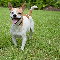 Chihuahua/Terrier (Unknown Type, Small) Mix Dog for adoption in Portland, Oregon - Pearl
