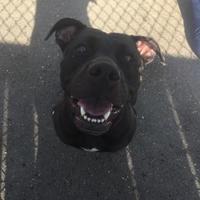 Adopt A Pet :: Gypsy - Fairfax Station, VA