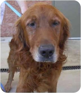 Golden Retriever Dog for adoption in Cleveland, Ohio - Wellington