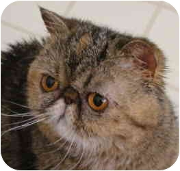 Persian Cat for adoption in Beverly Hills, California - Marie Brown