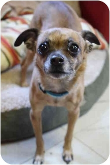 Chihuahua Mix Dog for adoption in Waterloo, New York - Capone