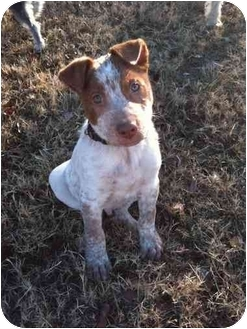 Australian Cattle Dog/American Pit Bull Terrier Mix Puppy for adoption in Arlington, Texas - Havoc
