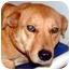 Photo 3 - Labrador Retriever Mix Dog for adoption in Arlington, Virginia - Butterscotch