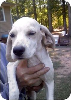Pointer/Hound (Unknown Type) Mix Puppy for adoption in Thomaston, Georgia - Hunter