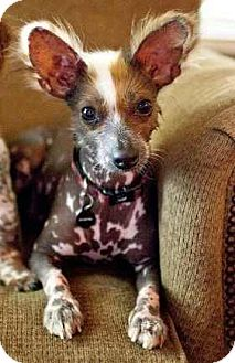 Chinese Crested Mix Dog for adoption in Houston, Texas - Harry