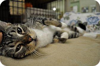 Domestic Shorthair Cat for adoption in Maple Ridge, British Columbia - Terry