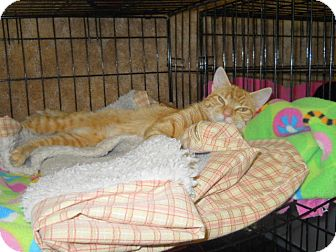 Domestic Shorthair Cat for adoption in Medford, Wisconsin - REBA