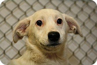 Jack Russell Terrier/Pomeranian Mix Puppy for adoption in Kalamazoo, Michigan - Blake