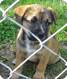 German Shepherd Dog Mix Puppy for adoption in Bel Air, Maryland - Vince