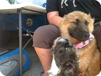 Leonberger Mix Puppy for adoption in Long Beach, New York - Brownie Bear