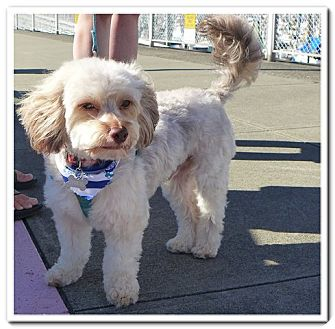 """""""Ollie""""   Adopted Dog   Seattle, WA   Yorkie, Yorkshire ..."""